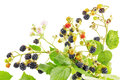 Bunch of blackberry branches with ripe blackberries isolated on white Stock Photo