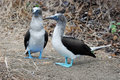 Bunch of Blue Footed Boobies, Isla de la Plata, Ec