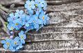 Bunch of blue forget me not flower in front brown old wood background Stock Photos