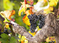 Bunch of blue grapes hanging in vine Stock Image