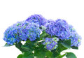 Bunch of blue hortensia flowers isolated on white background Stock Image