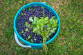 The bunch of blueberries on the bucket with berries full bilberries grass harvest season summer Stock Photography