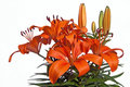 Bunch of bright  orange Lilies Royalty Free Stock Image