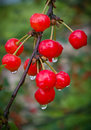 Bunch of cherries after a rain Royalty Free Stock Photo