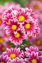 Bunch of chrysanthemum Royalty Free Stock Photo