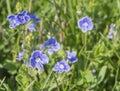 bunch of close up Forget-Me-Not flower myosotis alpestris growing wild, selective focus, bokeh green grass background