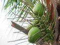 Bunch coconut on tree