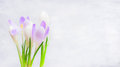 Bunch of crocuses flowers on light background banner spring nature or gardening concept Stock Photo