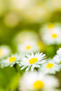 Bunch of daisies in sunny spring meadow Royalty Free Stock Photo