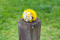 Bunch of dandelion flower on a wooden pole symbolizing spring photo fo Royalty Free Stock Image