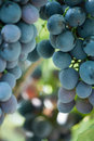 Bunch of dark grapes bunches ripe juicy on a background foliage Royalty Free Stock Images