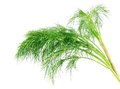 Bunch dill herb isolated on a white background Stock Photos