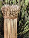 A bunch of dried wheat straw background Royalty Free Stock Photo