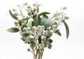 Bunch of eucalyptus gumnuts Royalty Free Stock Photo