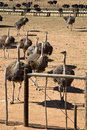 Bunch female ostriches farm Royalty Free Stock Photo