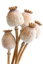 Bunch of five dried poppy seed pods on white. Royalty Free Stock Photo