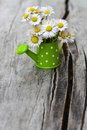 Bunch of flowering daisies Royalty Free Stock Photo