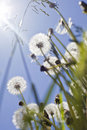 Bunch of fluffy dandelions Royalty Free Stock Photo