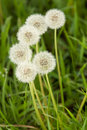 Bunch of fluffy white dandelions Royalty Free Stock Photo