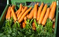 stock image of  Bunch of Fresh Carrots with their leaves on sale at Market. Daucus Carota