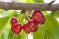 Bunch of fresh cherries red on a branch Royalty Free Stock Image