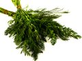 Bunch fresh dill herb close up Royalty Free Stock Photo