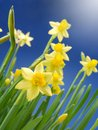Bunch of fresh garden daffodils over blue sky Stock Photography