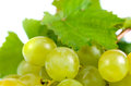 Bunch of fresh green grapes close up for the table for use in winemaking with leaves from the vine over a white background Royalty Free Stock Photos