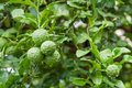 Bunch of Fresh Kaffir Lime with water drop Royalty Free Stock Photo