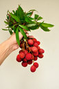 Bunch of fresh lychees in man hand Stock Photos