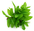 Bunch of fresh mint leaves with selective focus Stock Photos