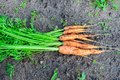 Bunch of fresh not washed carrot on the ground harvesting Royalty Free Stock Photography