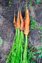 Bunch of fresh not washed carrot on the ground harvesting Royalty Free Stock Photos
