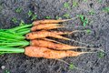 Bunch of fresh not washed carrot on the ground harvesting Stock Images