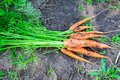 Bunch of fresh not washed carrot on the ground harvesting Royalty Free Stock Photo