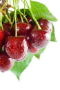 Bunch fresh ripe cherries close up leaves stems isolated white background Stock Photo