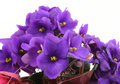 Bunch of fresh violets on white Royalty Free Stock Photo