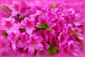 Bunch fuchsia azalea flowers Royalty Free Stock Photo