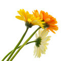 Bunch of gerbera Stock Image