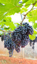 Bunch of grape Royalty Free Stock Photo