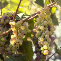 Bunch of grapes close up a on grapevine in vineyard shallow dof Royalty Free Stock Image