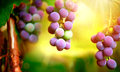 Bunch of grapes on grapevine growing in vineyard Stock Photo