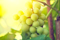 Bunch of grapes on grapevine growing in vineyard Stock Photos