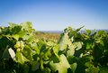 A bunch of grapes and green leaves on grapevine Royalty Free Stock Photo