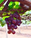 A Bunch of Grapes hanging on Vine in Vineyard - Grape Cultivation Royalty Free Stock Photo