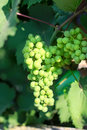 Bunch of grapes large ripening white at a vineyard in crimea Stock Photography