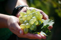 Bunch of grapes ripe white in palm Stock Photos