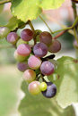 A bunch of grapes on the tree in Gelendzhik Royalty Free Stock Photo