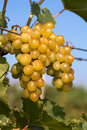 Bunch of grapes on the vine Royalty Free Stock Photography