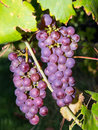 Bunch of grapes in vineyard Royalty Free Stock Photo